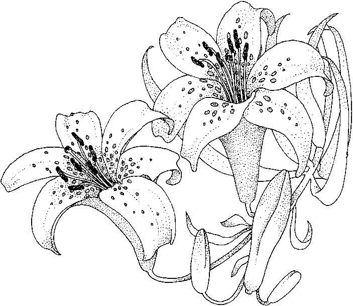 Раскраски цветы - 7